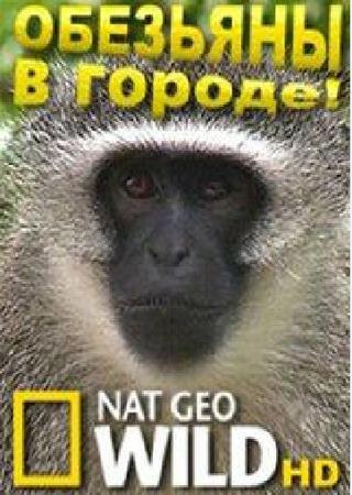 National Geographic: Обезьяны в городе!